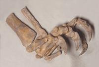 Linker Fuss Plateosaurier