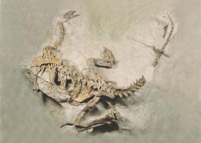 Komplettes Skelett eines Plateosauriers in Fundlage