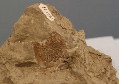 Aetosaurus-Abdruck