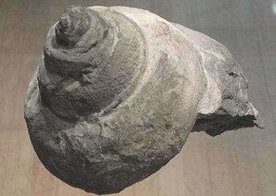 Schnecke-Fossil-Ausstg